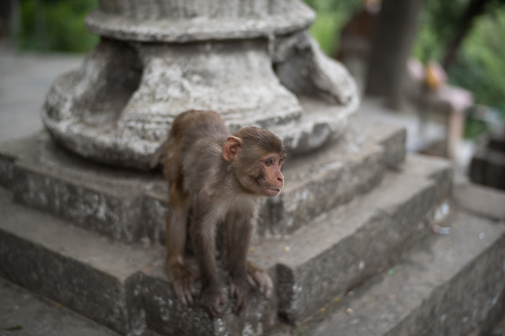 Young Monkey in Concentration Swayambunath Temple, Kathmandu, 2017