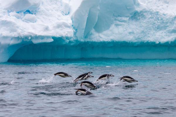Cierva Cove, Antarctica, Chinstrap Penguins