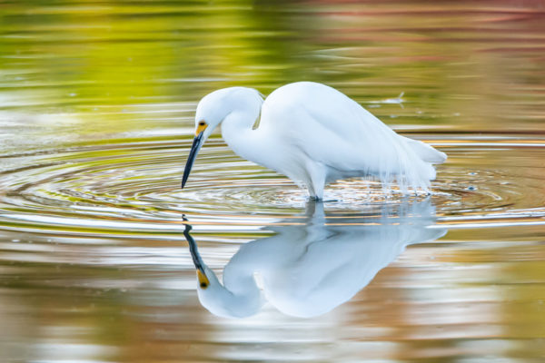 Photographer Cathy Kelly captures Florida wildlife: Great egret and its reflection