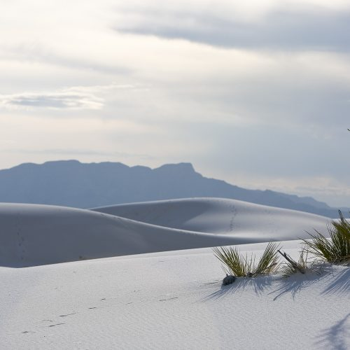 White Sands, NM Yuca
