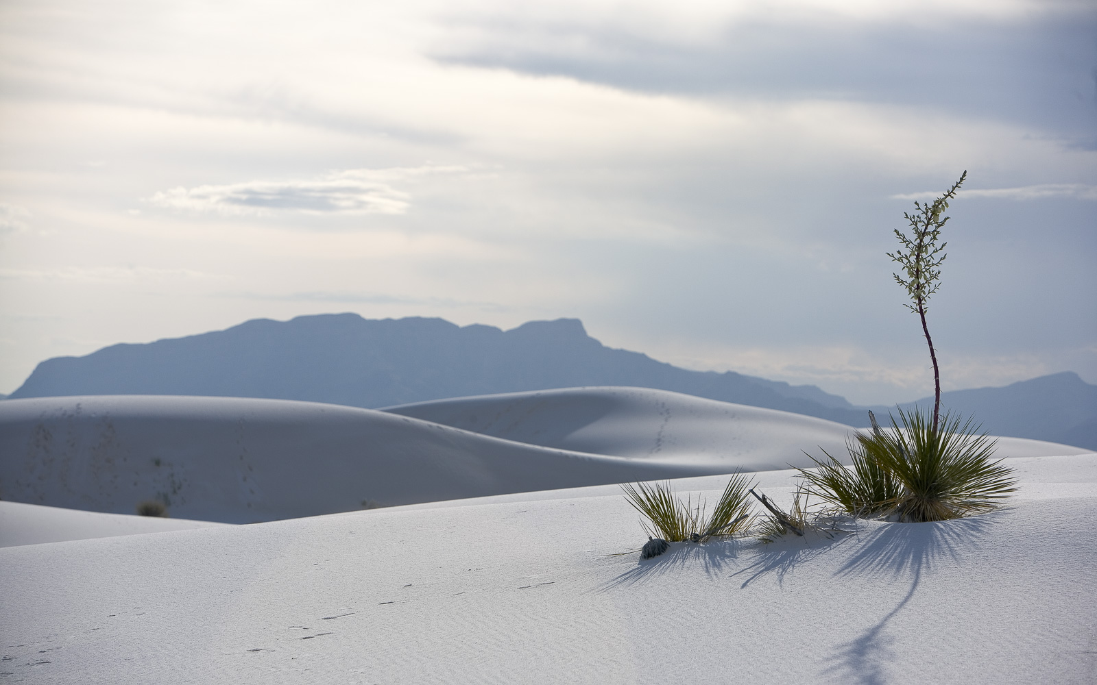 White Sands, NM Yuca
